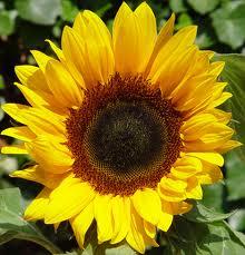 zonnen bloem
